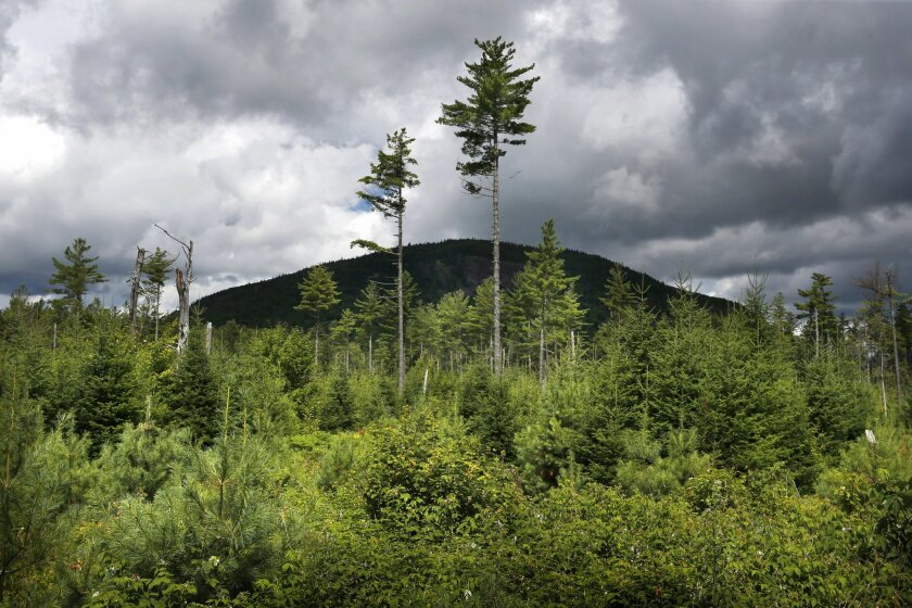 In this Aug. 5, 2015 photo, a forest grows back beneath a few uncut white pines several years after it was logged near Soubunge Mountain in Township 4, Range 11, in northern Maine. Maine is believed to be home to the largest population of Canada lynx in the Lower 48 states thanks to extensive clearcutting in the 1970s and 1980s. Clearcutting produced the ideal habitat for shoeshow hare, which are the lynx's primary prey. Private landowners and the government are now working together to recreate suitable habitat under current rules that restrict large clearcuts. (AP Photo/Robert F. Bukaty)