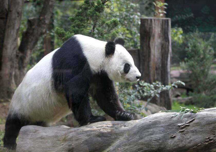 Fotografía que muestra al panda Xin Xin, en el Zoológico de Chapultepec, en Ciudad de México (México). EFE