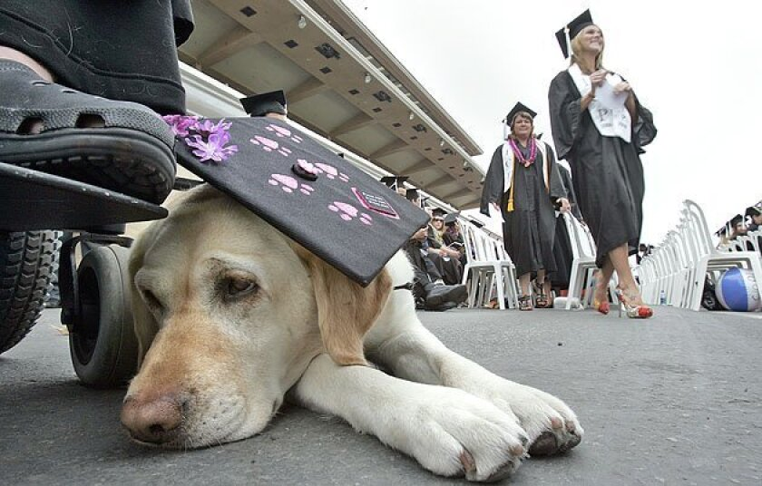 Talise the Labrador retriever sat by her companion, Erin Douheret, who received a communication degree yesterday at Cal State San Marcos' commencement. (John Gastaldo / Union-Tribune)