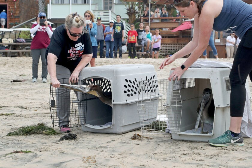 Debbie McGuire, left, and Kelly Kveton encourage two rescued pelicans to leave their kennels at Crystal Cove State Beach.