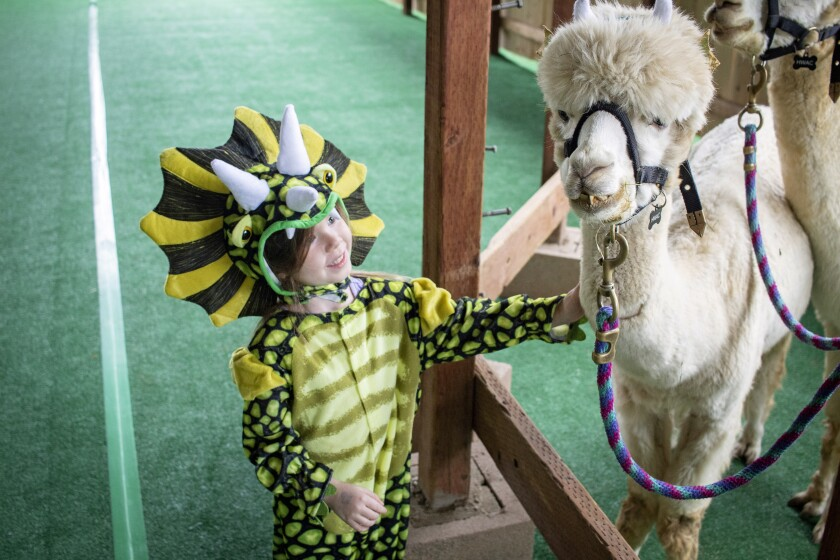 A participant in the Howl-O-Ween Harvest Family Festival greets an Alpaca at the Helen Woodward Animal Center