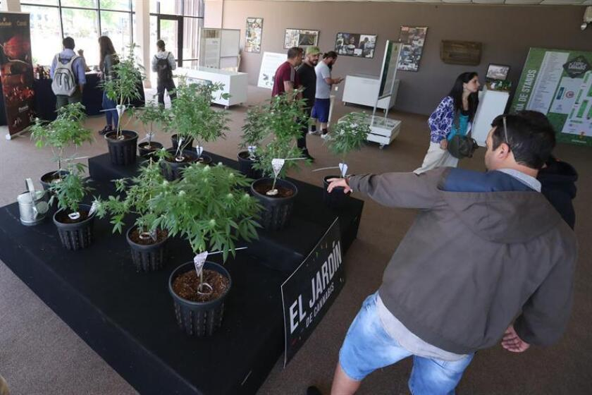 El acuerdo busca realizar una investigación del uso de la marihuana medicinal en pacientes con epilepsia refractaria, en concordancia con las reglas del Ministerio de Salud argentino. EFE