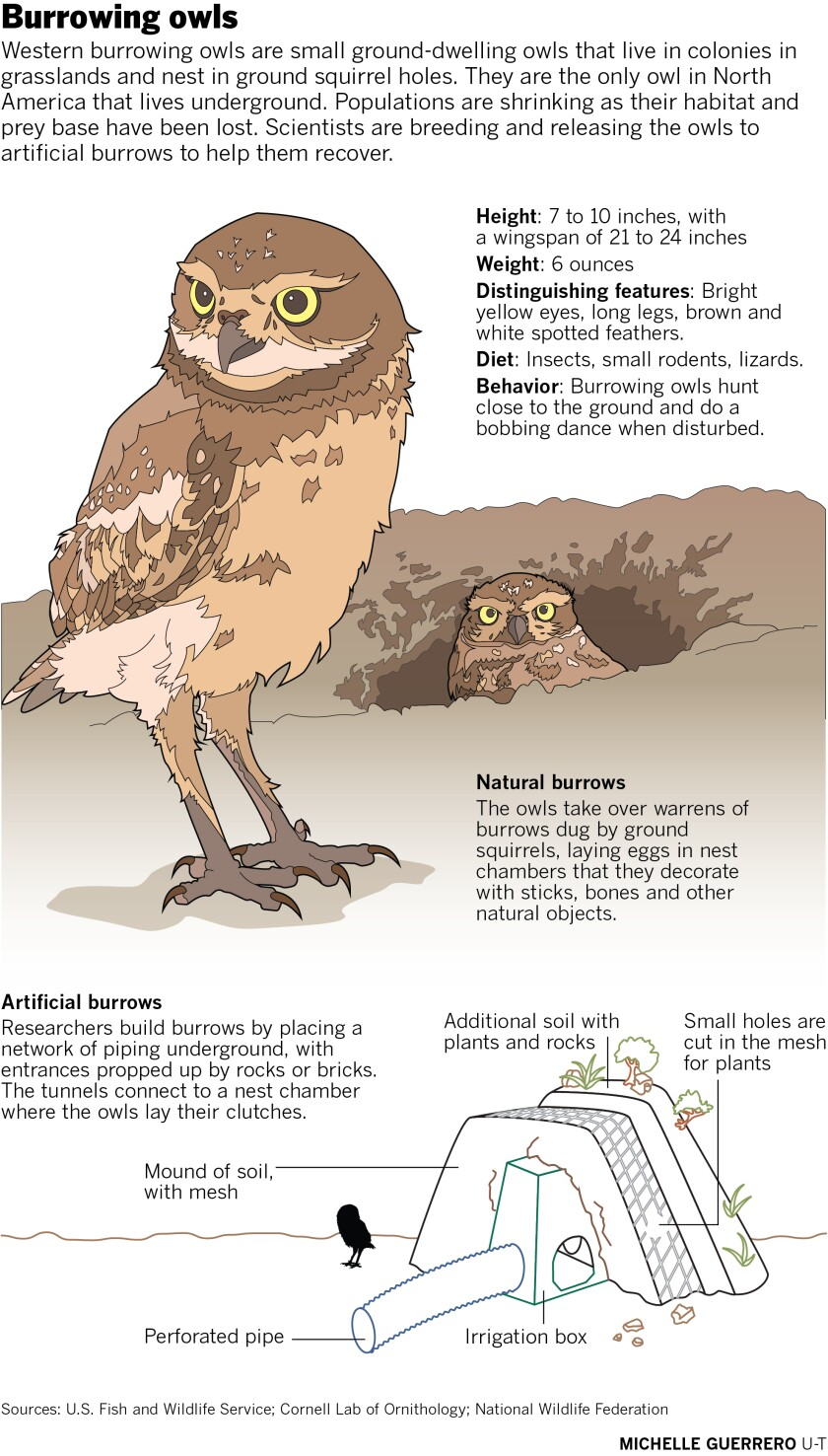 489180-w1-sd-me-western-burrowing-owl.jpg