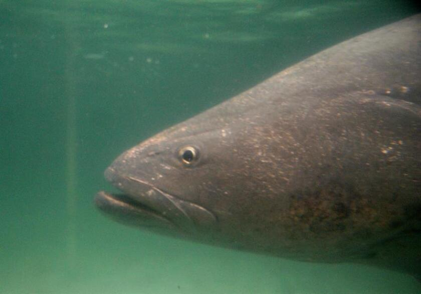 En la imagen, un pez totoaba. EFE/Archivo