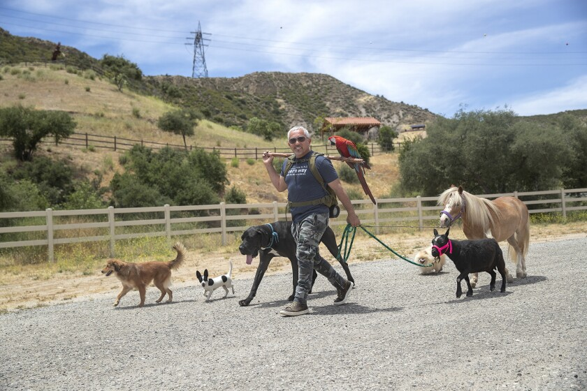 Dog trainer Cesar Millan is clearly in charge during a walk at his ranch with his dogs, miniature horse, goat and macaw.