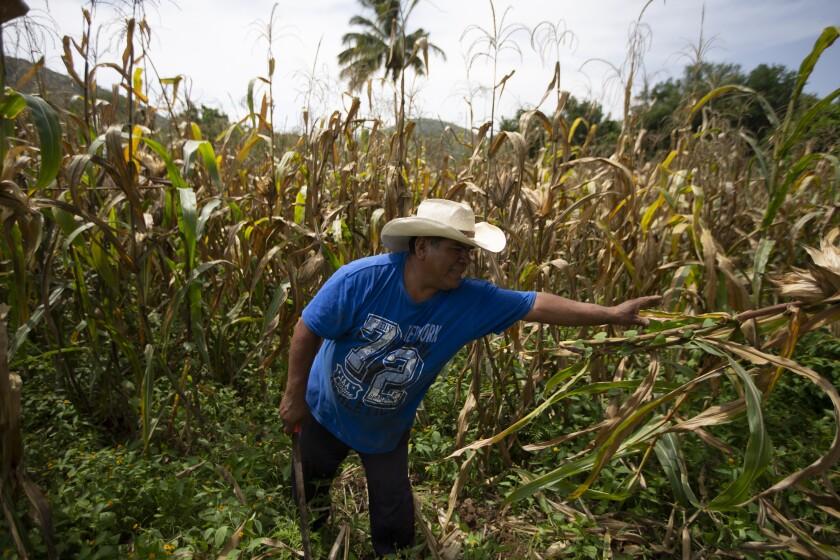 A man in a cornfield