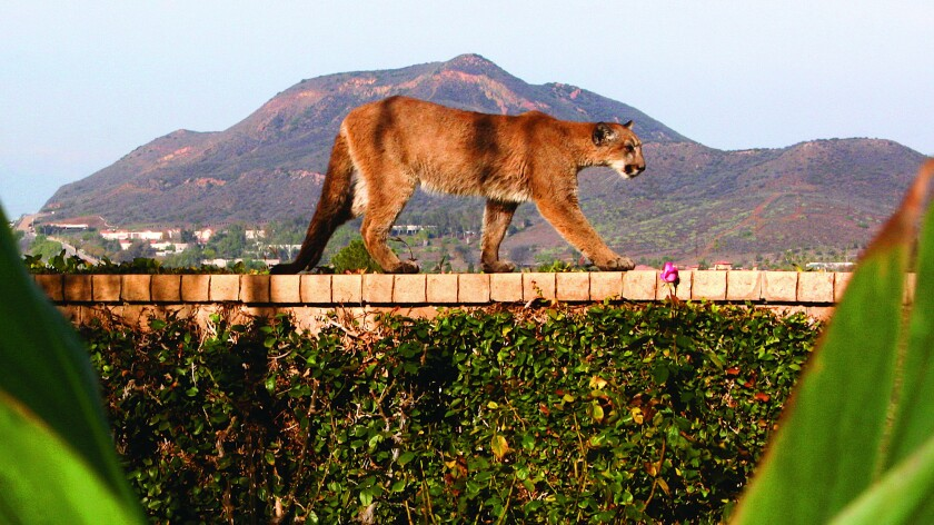 P-34 is photographed in a backyard in Newbury Park, Calif., in December 2014. The mountain lion was found dead of rodenticide poisoning less than a year later.