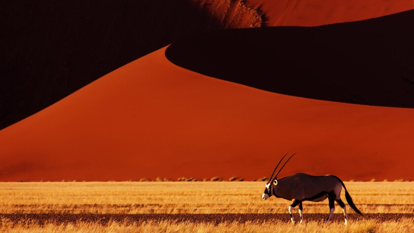 An oryx walks in the early morning past Dune 45 in the Namib desert at Sossusvlei.