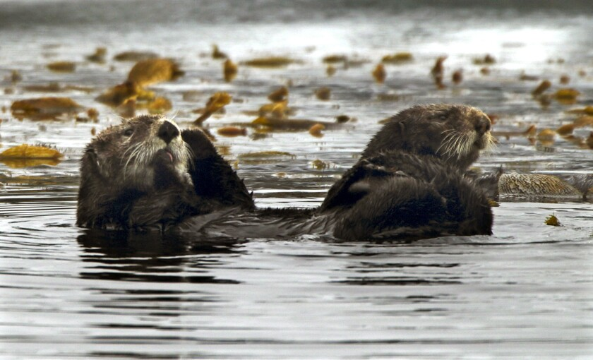 $21,000 reward offered in shootings of 3 California sea otters