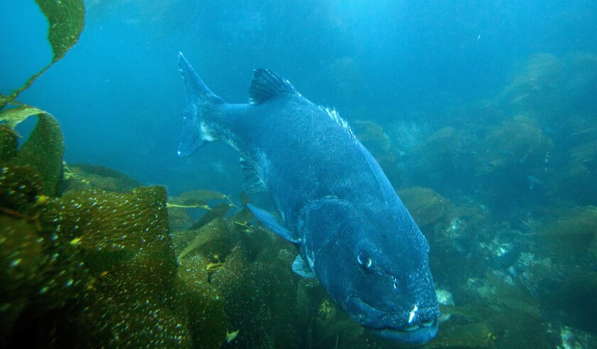 AVALON, CALIF. -- MONDAY, JULY 16, 2018: An endangered giant sea bass swims through kelp beds in the