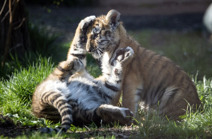 In this photo provided by the Cleveland Metroparks Zoo, two of three new tiger cubs play in an exhibit as they made their public debut on Wednesday, April 14, 2021, at the Cleveland Metroparks Zoo in Cleveland. (Kyle Lanzer/Cleveland Metroparks Zoo via AP)