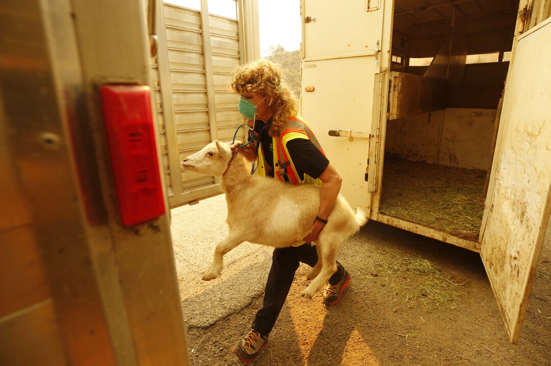 A woman wearing a mask carries a goat