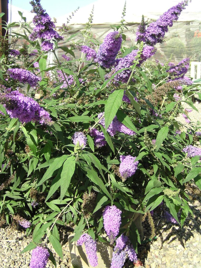 Buddleia, also known the Butterfuly Bush.