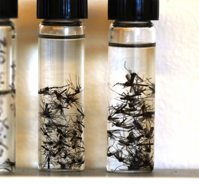 Yellow fever mosquitoes are shown in vials collected by San Diego County's vector control experts. / photo by John Gibbins * U-T
