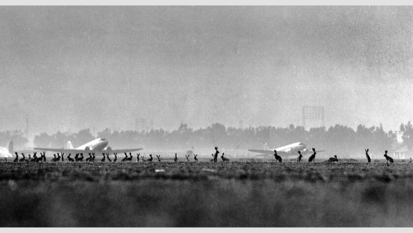 Nov. 19, 1946: Early morning view of scores of jackrabbits watching activities at Los Angeles Municipal Airport, slated to open to major airlines on December 9, 1946.