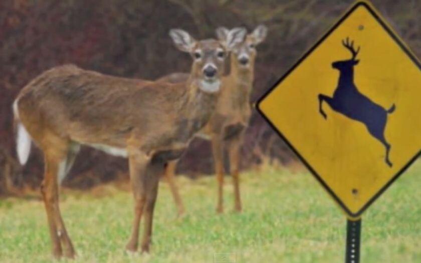 Mule deer crossing Highway 1 near Big Sur.