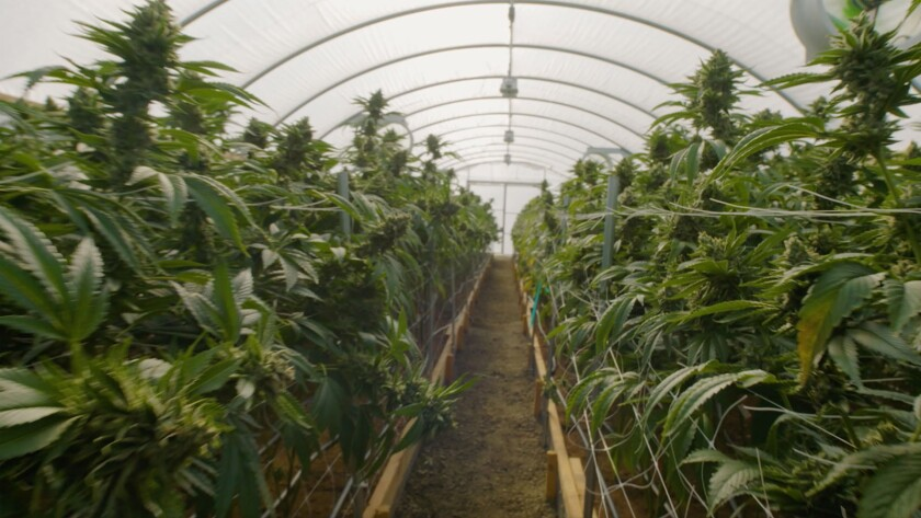 """Cannabis plants in the documentary """"The Legend of 420."""""""