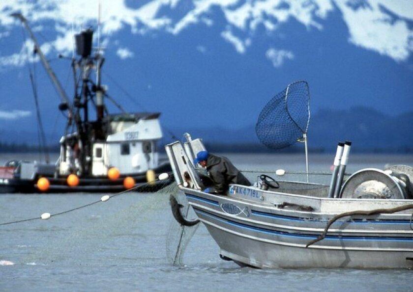 A fisherman hauls in a Copper River salmon.