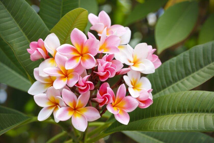 Pink and Yellow Frangipani Flowers