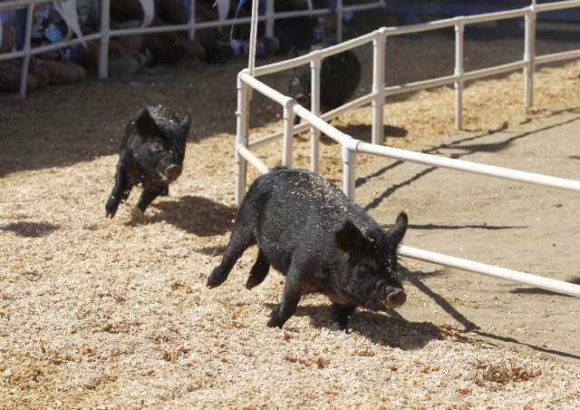 Pig wrangling out, greased watermelons are in at longtime county fair event