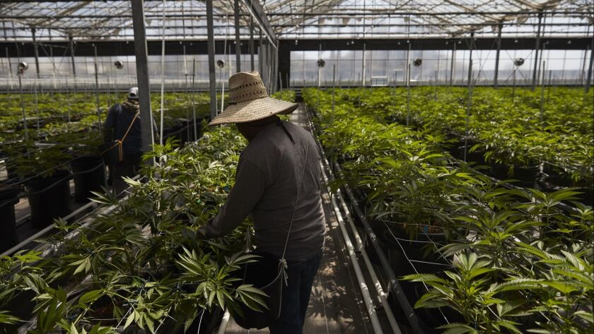 Workers tend cannabis plants in a California greenhouse.