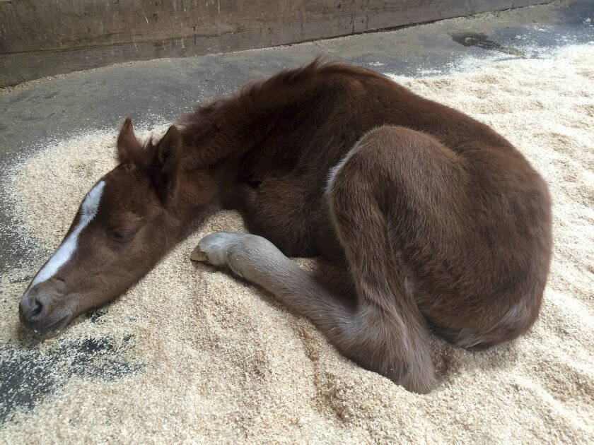 This Feb. 14, 2016 photo provided by the Fremont Police Department shows a baby horse resting Pleasanton, Calif. The colt, named Valentine because it was rescued on Valentine's Day, has a broken pelvis and is recovering after being rescued from the bottom of a steep ravine. (Fremont Police Animal S