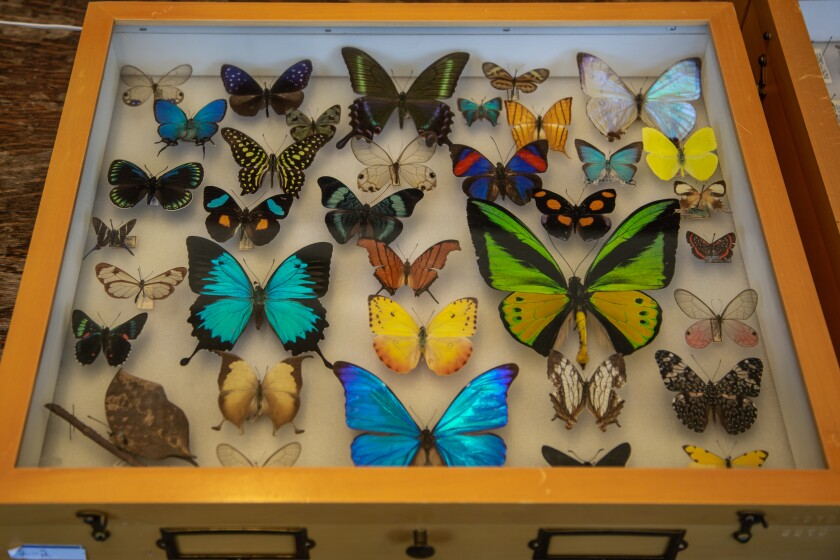 A display case of butterflies from around the world at The San Diego Natural History Museum on Monday.