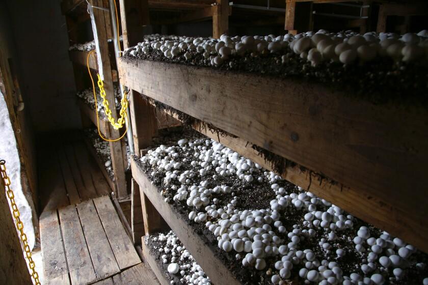 At his mushroom farm, Mountain Meadow in Escondido, Gary Crouch checks on the progress of a set a mushrooms at his farm. Crouch was recently names farmer of the year by the Farm Bureau.