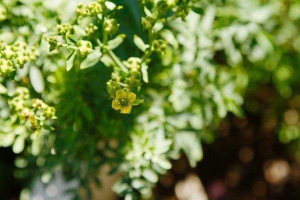 Rue's tiny yellow flowers.