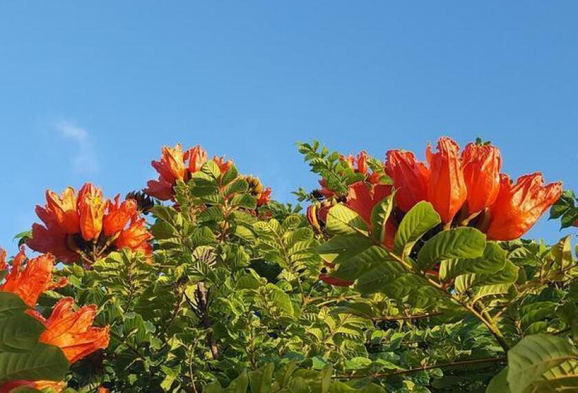 The African tulip tree, also called nandi flame tree, is blooming around La Jolla and San Diego County.