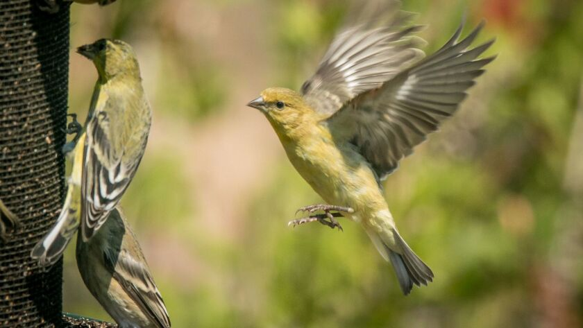 A female lesser goldfinch flying into the seed feeder.