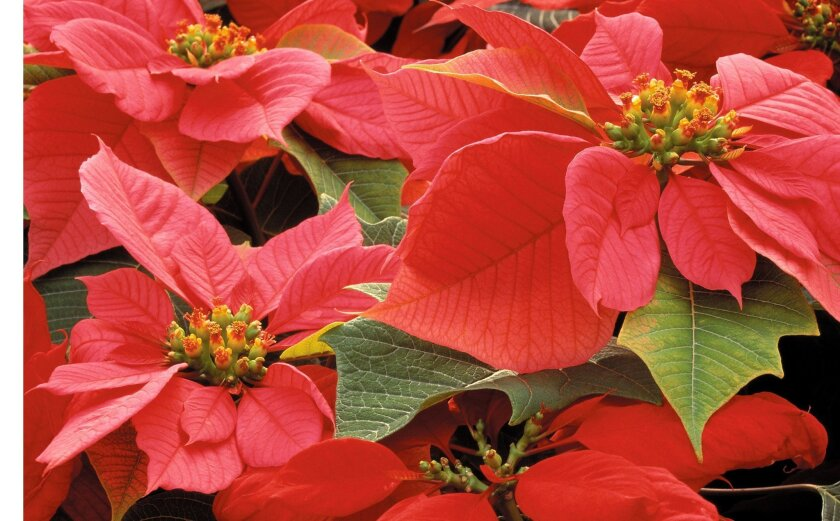 The actual flowers of poinsettias are the tiny yellow structures in the center of brightly colored bracts.