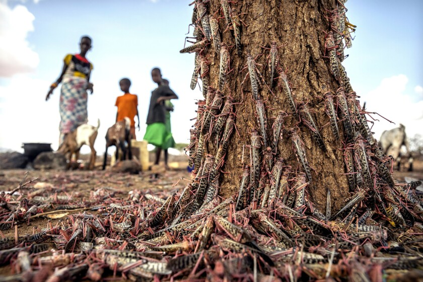 Desert loldoocusts swarm over a tree in Kipsing, near Oldonyiro, Kenya, on March 31. A second, larger wave of the voracious insects is arriving.