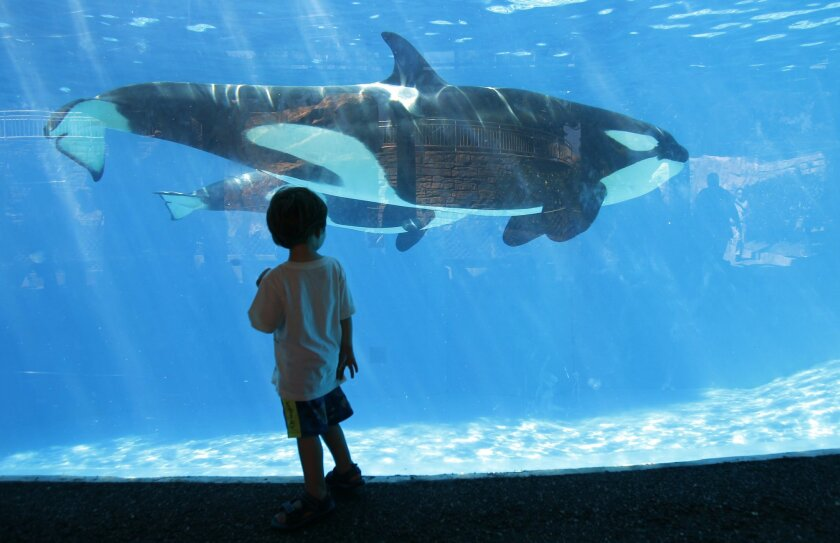 A young boy looks at orca as it swims in a holding tank at SeaWorld San Diego.