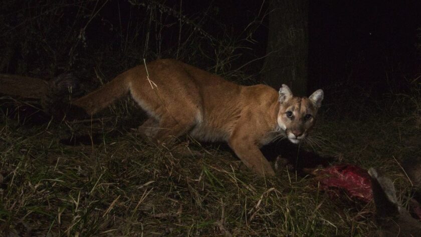 A mountain lion feeds in Malibu Creek State Park in a 2014 photo.