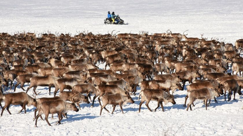 Canada's only herd of reindeer on the move outside Inuvik, Northwest Territories.