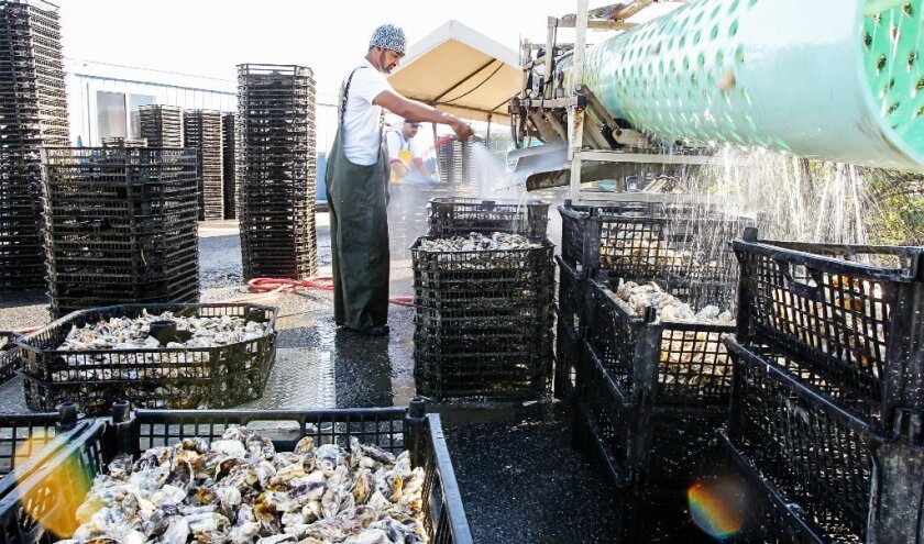 Jorge Lopez (front) and Jose Mansinas (back) run oysters through a size sorter Wednesday at the Carlsbad Aquafarm.