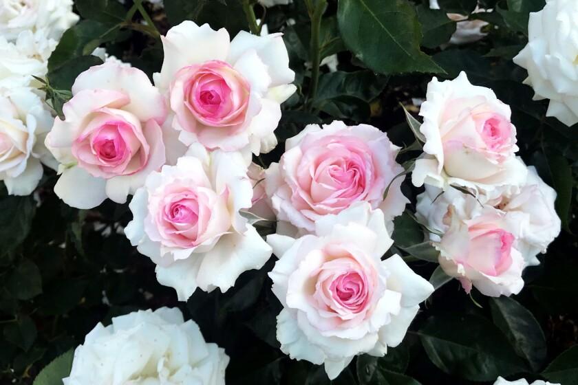 Huntington Pink Ice roses