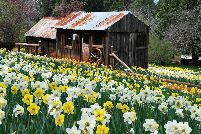 Family closes down Daffodil Hill