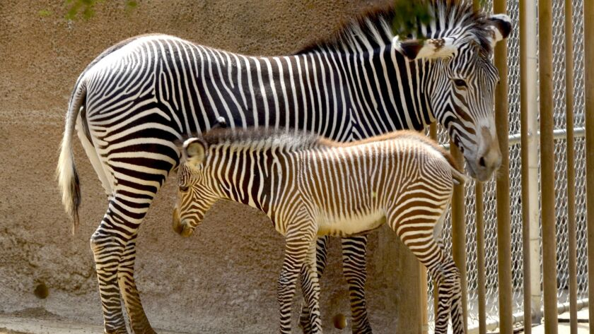 The Los Angeles Zoo's one-month old Grévy's zebra foal getting accustomed to the world with her moth