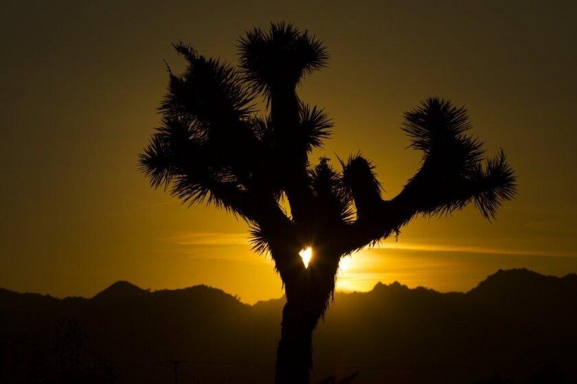 Setting sun silhouettes a Joshua tree