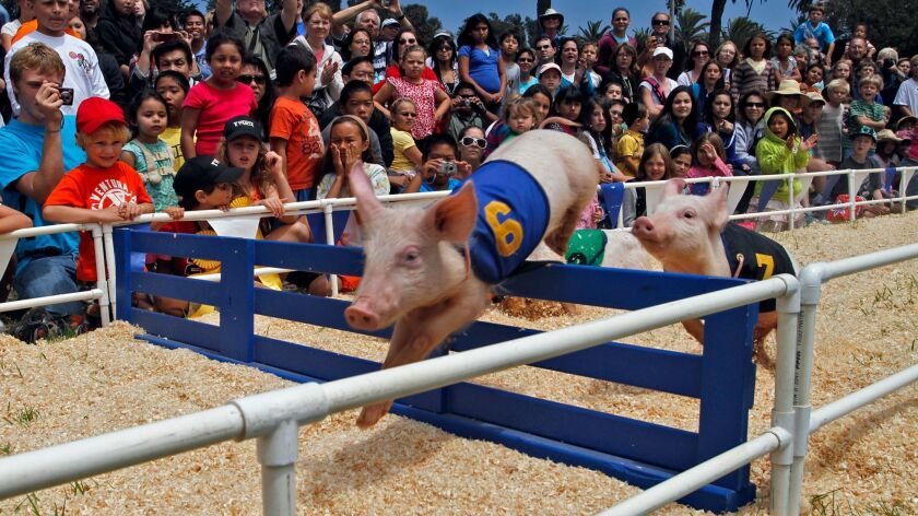 There will be no racing pigs this year at the Ventura County Fair, which officials canceled May 5.