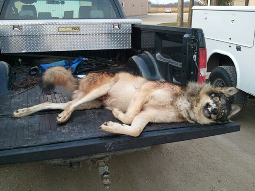In this undated picture released by the Illinois Department of Natural Resources, a dead gray wolf, shot and killed in northwestern Illinois in 2011 by a deer hunter who said he thought it was a legally hunted coyote, is seen. The hunters said they believed the animal was a coyote, which, especiall
