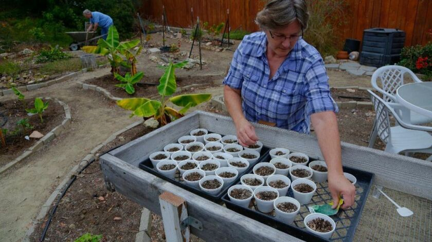 Cindy Gliebe prepare to plant seedlings while her husband Mike prepares soil for a new garden. The couple grows various vegetables and fruits in the backyard of their home in Chula Vista and the surplus of vegetables and fruits are donated to given to those in need.