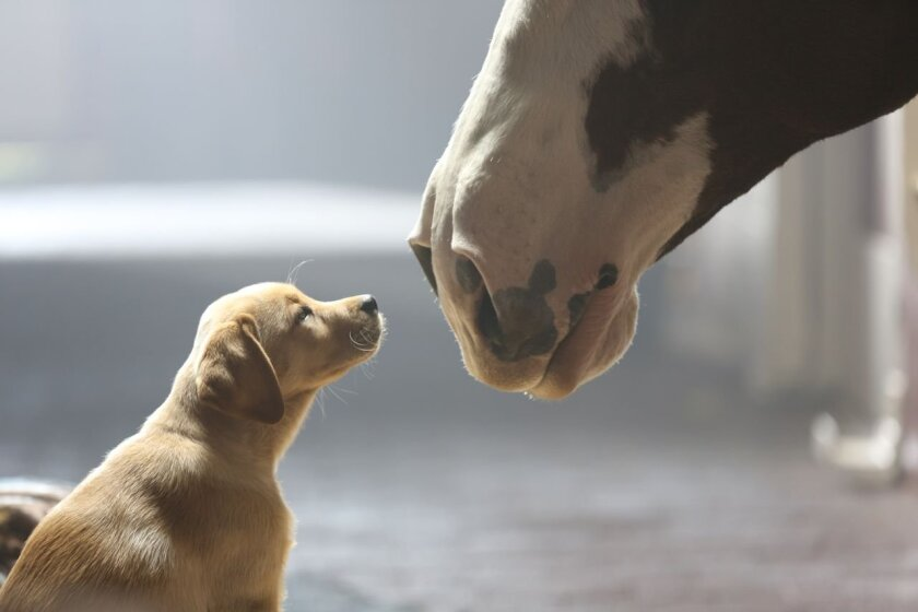 """This undated frame grab provided by Anheuser-Busch shows the company's 2014 Super Bowl commercial entitled""""Puppy Love"""". The ad will run in the fourth quarter of the game. (AP Photo/Anheuser-Busch)"""