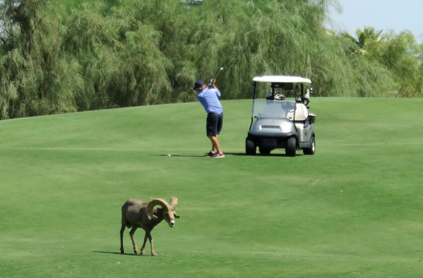 Bighorn sheep on Silver Rock golf course. (Mandatory Credit: Bighorn Institute)