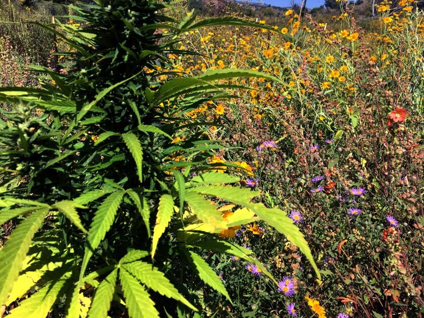 Hemp and wildflowers in a field