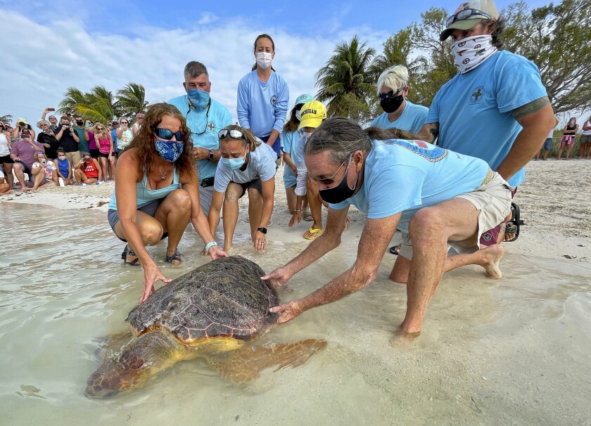 """In this photo provided by the Florida Keys News Bureau, Bette Zirkelbach, front left, and Richie Moretti, front right, manager and founder respectively of the Florida Keys-based Turtle Hospital, release """"Sparb,"""" a sub-adult loggerhead sea turtle, Thursday, April 22, 2021, at Sombrero Beach in Marathon, Fla. The reptile was found off the Florida Keys in late January 2021 with severe wounds and absent a front right flipper. It was not expected to survive but was treated with a blood transfusion, extensive wound care, broad-spectrum antibiotics, IV nutrition and laser therapy. The turtle made a full recovery and was returned to the wild in conjunction with Thursday's Earth Day celebrations. (Andy Newman/Florida Keys News Bureau via AP)"""