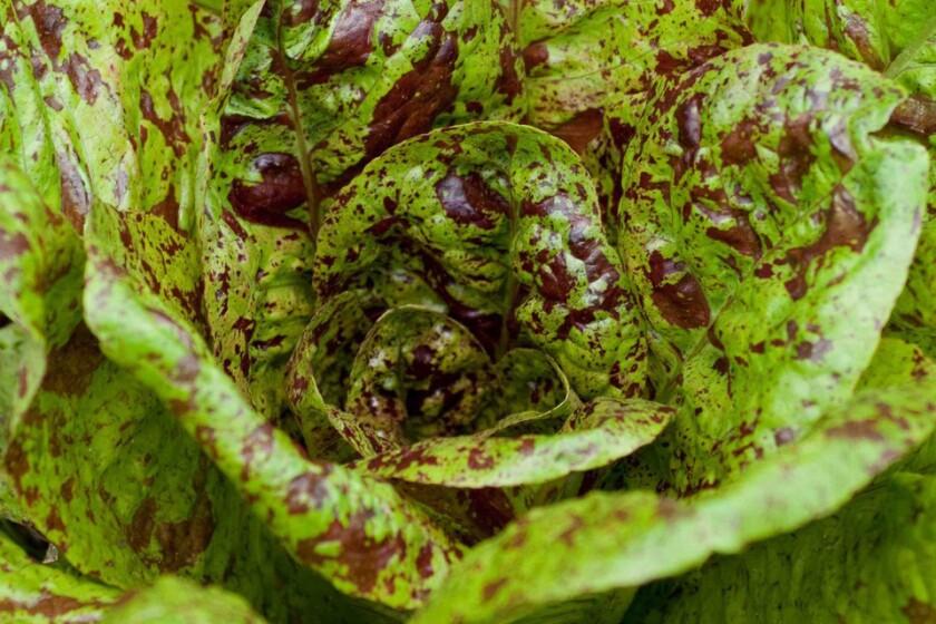 'Freckles' lettuce.