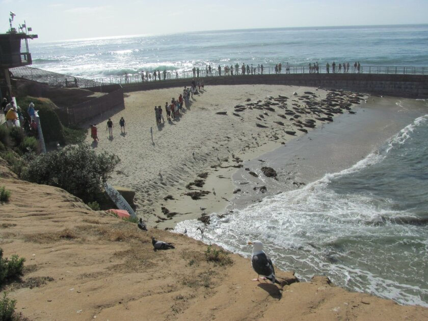 Children's Pool (aka Casa Beach) in La Jolla has become a harbor seal rookery, which many locals resent because it limits their access to the ocean at a sheltered point.